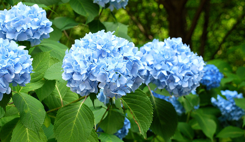 Hydrangeas Flower – Buy This Beauty At An Online Flowers Delivery Service